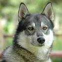 лайка, охотничьи собаки,  породы собак