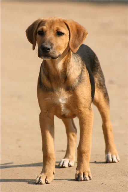 охотничьи собаки, русская гончая