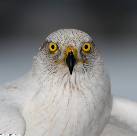 энциклопедия владельца ловчей птицы, охота с ловчей птицей