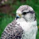 ловчие птицы, охота с ловчей птицей