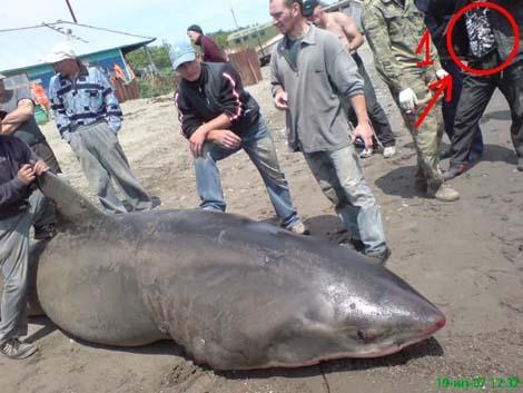акула приморье