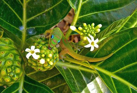 Нектар для зеленого геккона Chandra Sherin