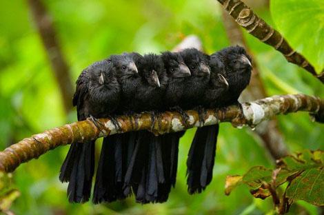 Воркующие птицы Rebecca Yale