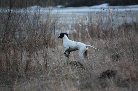 состязания легавых пород собак по перепелу