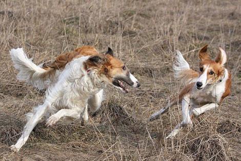 Охота на зайца: Чемпионат борзых