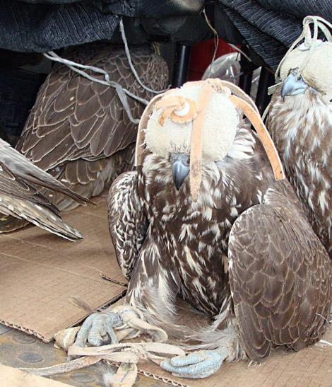 Соколы-балобаны: освобождение из плена