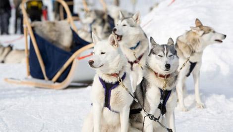 катание на собаках в подмосковье