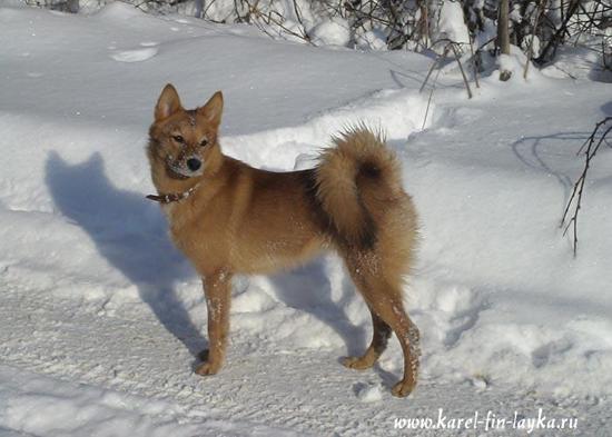 охотничьи собаки, лайки