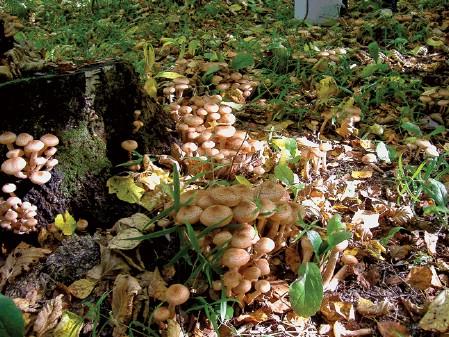 собирать грибы опята на базе Дворянское гнездо