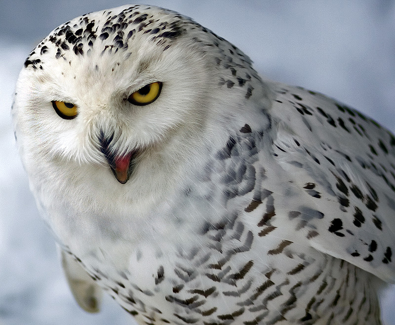 Хищные птицы от фотографа Dean_Bertoncelj