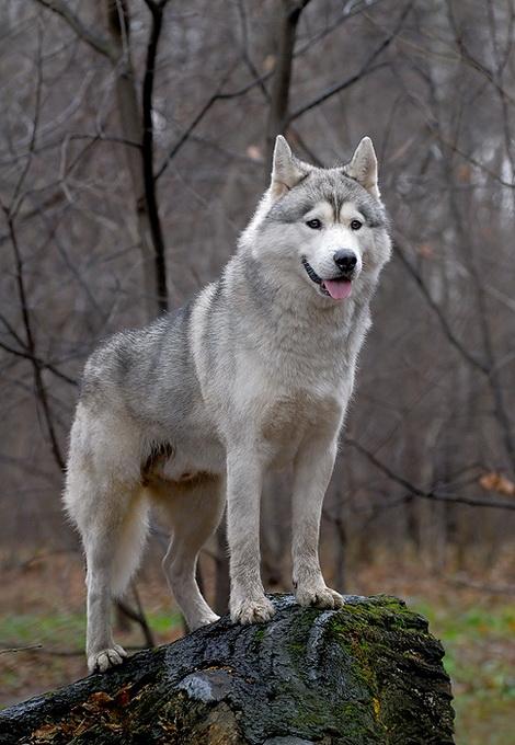 07 05 2010 охота со стаей гончих на волков