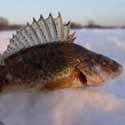голавль, календарь рыболова февраль 2012