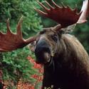 лоси, охота на лося