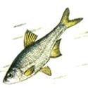 РУССКАЯ БЫСТРЯНКА Alburnoides bipunctatus (подвид rossicus)