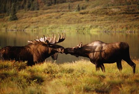 лось, охота на лося