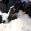 борзые, охотничьи собаки, породы собак