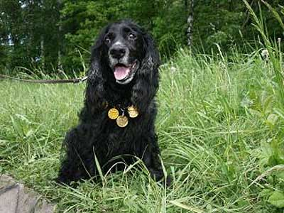 Русский охотничий Спаниель, охотничьи собаки