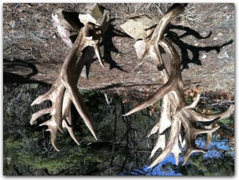 Лучшие рекорды трофейной охоты на благородных оленей
