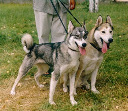 охотничьи собаки, лайка