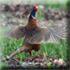 Охота на фазана в Подмосковье