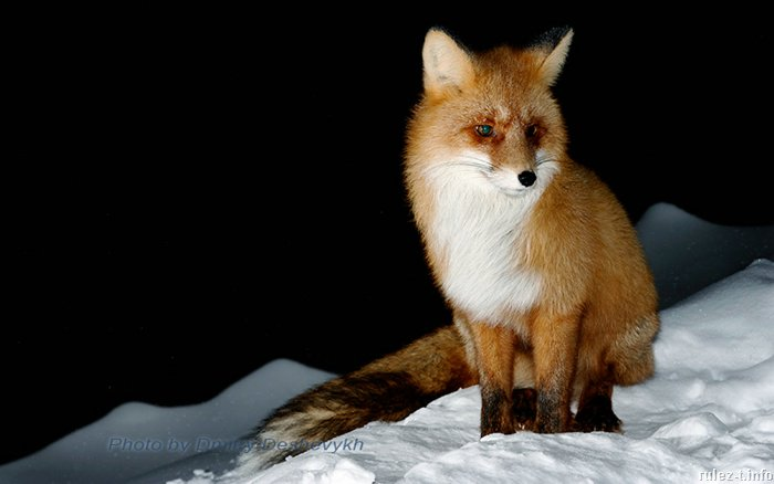 лиса, охота на лису