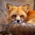 лиса, охота на лису, календарь охотника