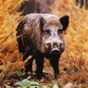 кабан, охота на кабана, календарь охотника