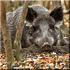 Охота на кабана в Тверской области