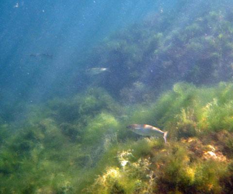 Подводная охота на кефаль - Фото Андрей Шалыгин