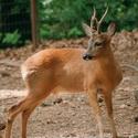 косуля, охота на косулю, календарь охотника