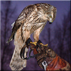 Охота с ловчей птицей на фазана