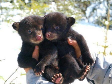 медведи, охота на медведя