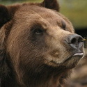 медведь, охота на медведя