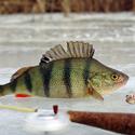 окунь календарь рыболова