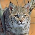 календарь охотника, рысь, охота на рысь