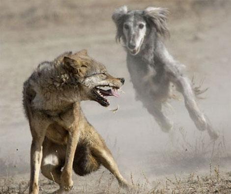 охота на волка - тайганы