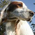 охотничьи собаки, легавые, породы собак
