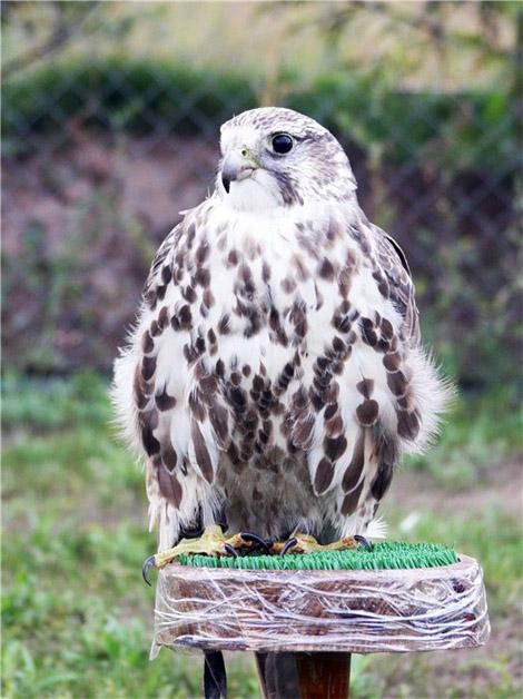 Состязания ловчих птиц по голубю на Кубок Святого Трифона