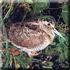 Охота на утку, вальдшнепа в Тверской области