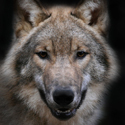 волк,календарь охотника, охота на волка