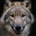 волк, календарь охотника, охота на волка