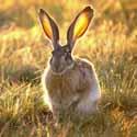 заяц, охота на зайца, календарь охотника