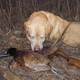 С лабрадорами за фазаном: Охотничья собака лабрадор-ретривер