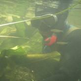 Подводная охота на судака: Судак - взгляд из-под воды