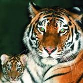 Браконьеры натравливают тигров на людей