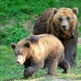 Медведи вышли на улицы Братска