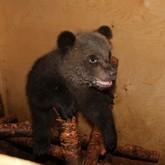 Российские учёные спасают осиротевших медвежат
