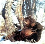 Медвежий и барсучий жир: Лекарство от всех болезней