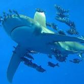 Акулы как они есть - достоверно и точно