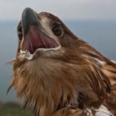 Птицы ловчие: Зоологическое оружие